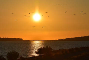 Seagulls flying at sunset, silhouette.
