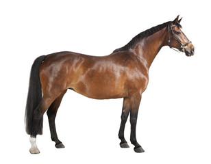 Foto auf Acrylglas Pferde braunes Pferd freigestellt