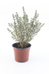Thyme in a Pot Isolated on White