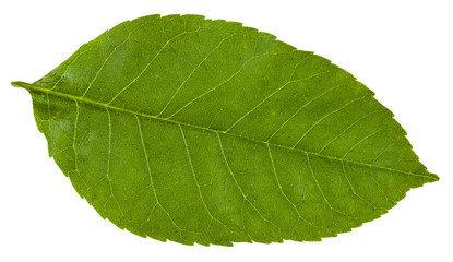 green leaf of Fraxinus ornus tree isolated
