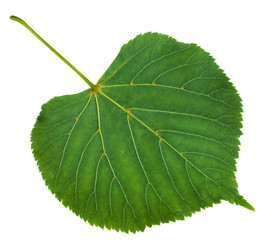 back side of green leaf of Tilia platyphyllos tree