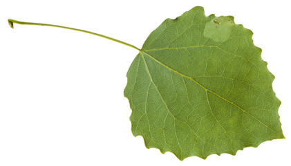 back side of green leaf of aspen isolated