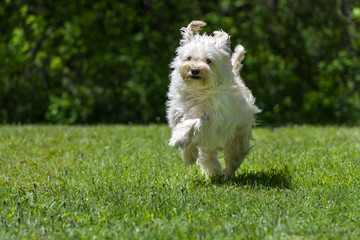Happy little brown dog jumping in the grass on a sunny summer day