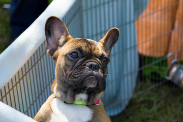 Cute french bulldog puppy watching out of his cage.