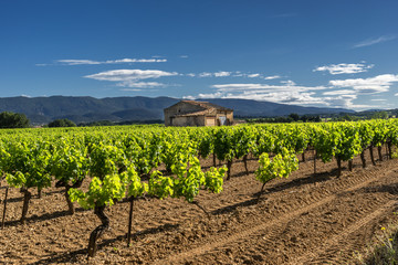 Vineyard in the Luberon region of Provence