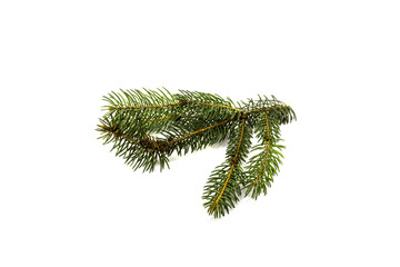 Green pine branch on a white background