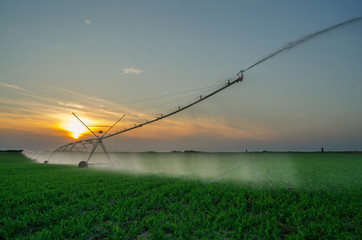 Irrigation system watering field of green peas in summer