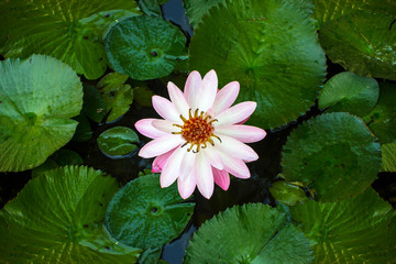 Lotus flower and Lotus flower plants Background patterns