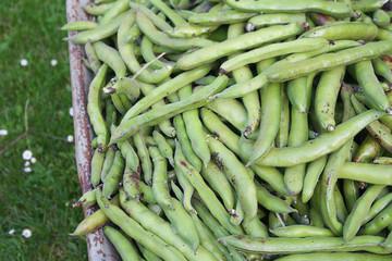 raccolto di fave verdi dall'orto