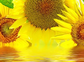 Beautiful sunflower. Closeup of a beautiful sunflower in garden