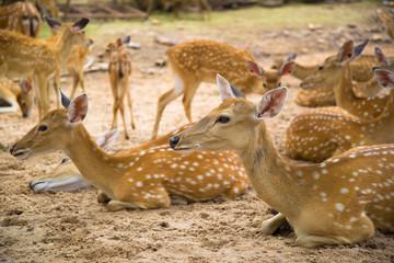 Deer / Looking Deer / Curios Deer / Zoo Deer