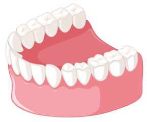 Teeth model  on white background