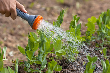 hand watering green peas in the garden