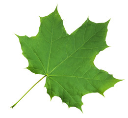 Maple Leaf isolated - Green