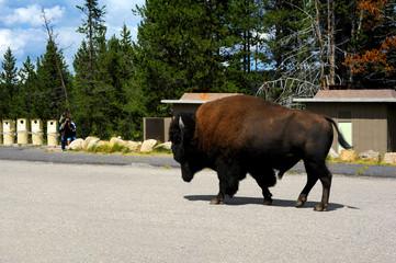 Aimless Buffalo