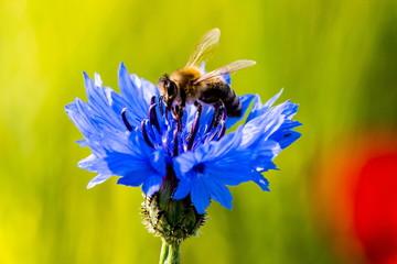 Nektar suchende Biene auf einer Kornblume