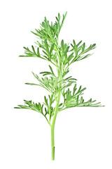 Sagebrush twig isolated on white background