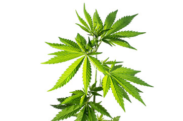 Wild hemp plant on the white background.