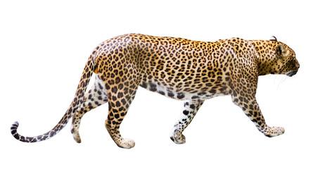 In de dag Luipaard Adult male leopard