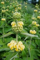 Yellow flowers of Jerusalem sage (Phlomis russeliana)