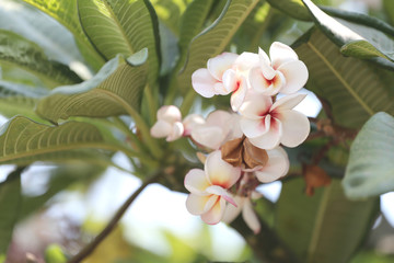 white plumeria or frangipani flower bloom on tree.