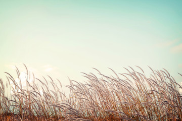 Wall Mural - abstract vintage nature background - softness white feather grass with retro blue sky space