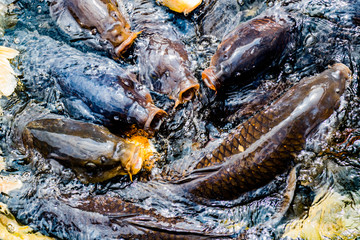 日本の池の鯉