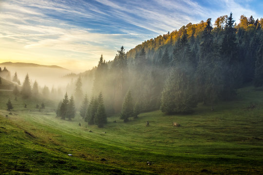 spruce forest on a hill side in fog