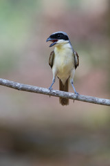 Tiger Shrike in forest
