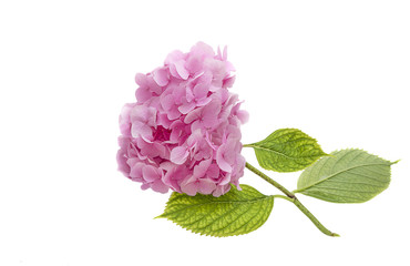pink hydrangea (isolated hydrangea ) close up hydrangea