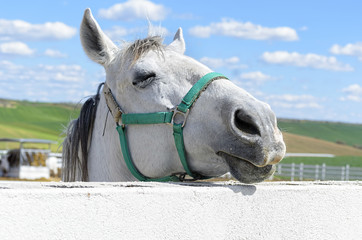 Beautiful white horse, at the moment with his eye is closed, from behind of the fence. Rural scene.
