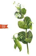 Green pea, botanical illustration