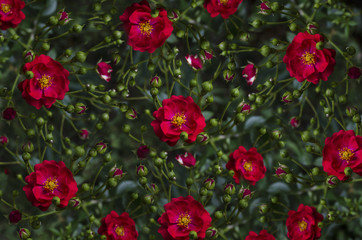 Motley background of disorderly situated buds and red rose