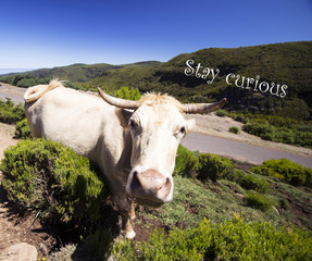Curious Cow - Nature Photography