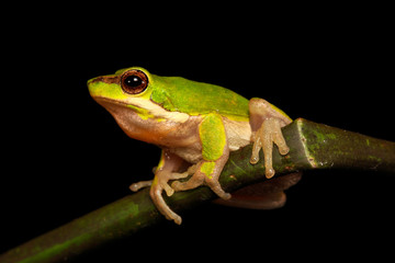 The eastern dwarf tree frog or eastern sedge-frog, is a small and very common tree frog found on the eastern coast of Australia, from around Cairns, Queensland, to around Ulladulla, New South Wales.