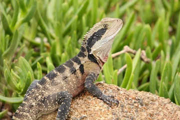 The Australian water dragon, which includes the eastern water dragon and the Gippsland water dragon subspecies, is an arboreal agamid species native to eastern Australia from Victoria northwards.