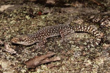 Oedura is a genus of medium to large geckos (Gekkonidae) endemic to Australia.