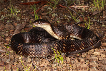 Tiger snakes are a type of venomous snake found in southern regions of Australia, including its coastal islands and Tasmania.