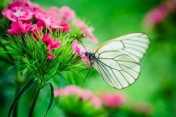 butterfly carnation macro