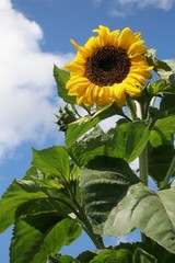 Sunflower on the sky background