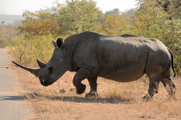African white rhinoceros bull charging through the bush at speed to cross the road