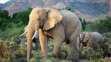 Der Elefant, ein riesiger Koloss mit langem Rüssel
