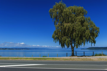 A tree beside Lake Taupo, North Island of New Zealand