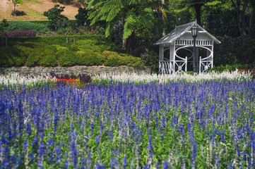Lavender flowers at Wellington Botanic Garden, New Zealand