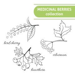 Medicinal berry collection. Bird cherry, viburnum, hawthorn