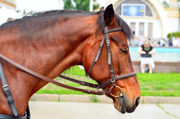 Horse in harness. Portrait of a horse. Brown horse