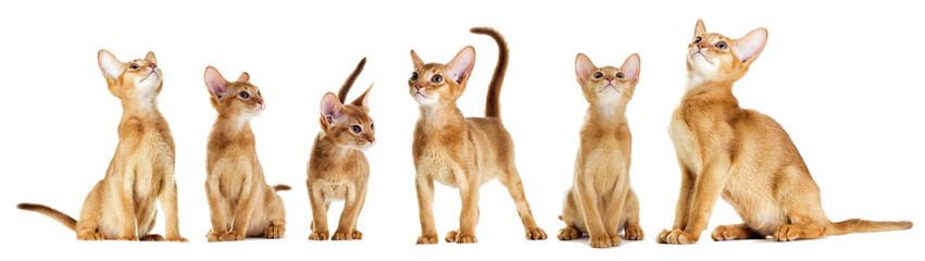 Fototapete - Abyssinian kitten looking
