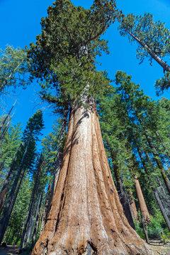 Sequoia Tree in Sequoia National Park, California