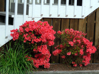 South Bethany the azalea 2016
