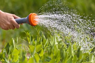 hand watering green peas in the vegetable garden